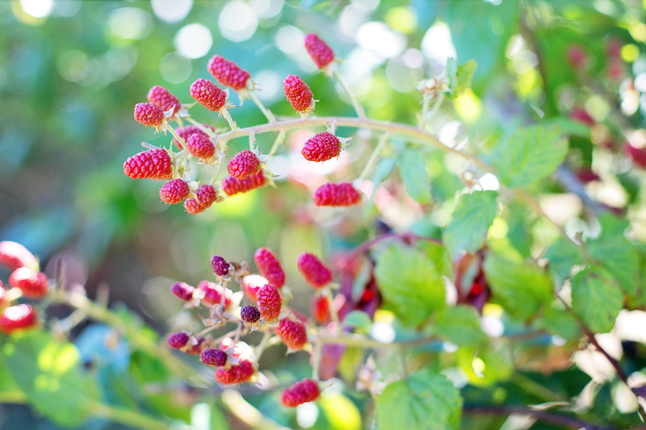 raspberries-bush-red-summer-158116
